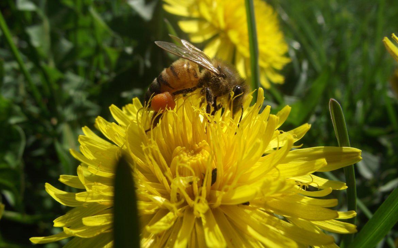 La préservation des abeilles : une lutte quotidienne