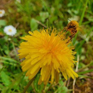Tout ce que je veux, c'est du soleil. 🐝🌷🌼☀️   #soleil #abeille #bee #fleur #printemps2021 #insecte #nature #paysage #pissenlit #paquerette #2021